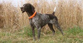 Top Gun Princess Di German Shorthair