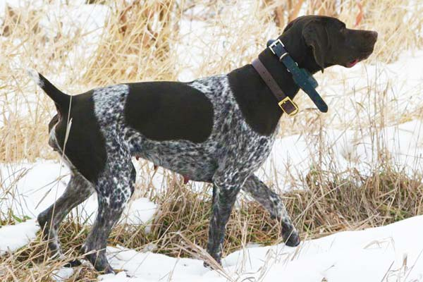 Hope German Shorthaired Pointer Female