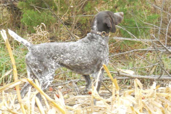 German Shorthaired Pointer Jessie