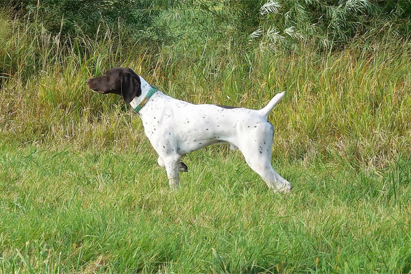 Top Gun Impressive Sir Henry - German Shorthaired Pointer