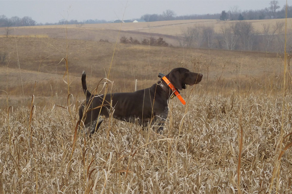 TGK Penny German Shorthair