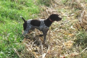 Top Gun Hope German Shorthair Pointing