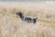 Top Gun Hope German Shorthair in Field