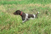 Top Gun Hope German Shorthair on Point