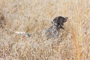 Jessie Female German Shorthair Hunting